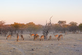 Herd of black faced impala at sunset - 194603285