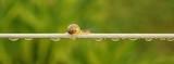 Langer Weg Schnecke auf einer Wäscheleine mit Wassertropfen - Long way snail on a clothesline with water drops  - 194607015