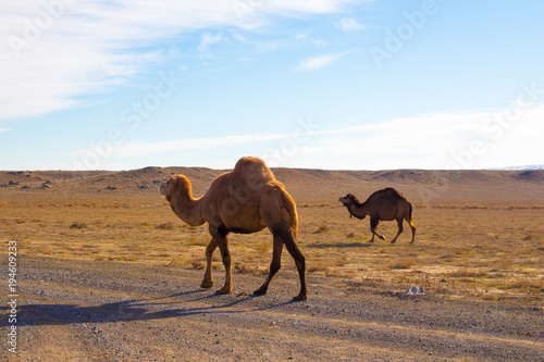 Aluminium Kameel Camels in the Steppe and Mountains