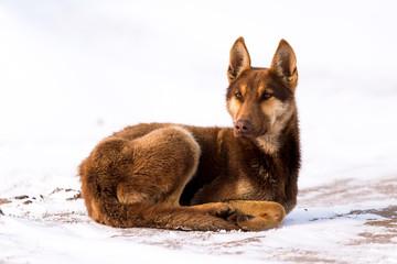 Wolf dog sitting in snow
