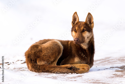 Fotobehang Wolf Wolf dog sitting in snow