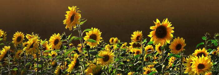 Sonnenblumenfeld Panorama
