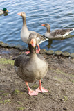 wild goose on the bank of a pond  - 194623691