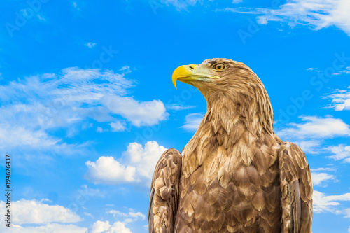 Aluminium Eagle Portrait of white-tailed eagle. Orlan whitetail on a blue cloudy sky background.