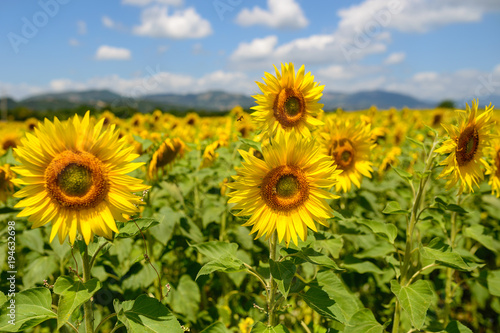 Fototapeta sunflowers in Tuscany