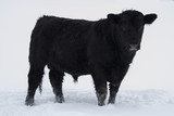 Young Angus Bull