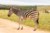 Single Zebra Standing On A Dirt Road In South Africa