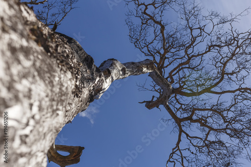 Aluminium Baobab tree trunk with branches