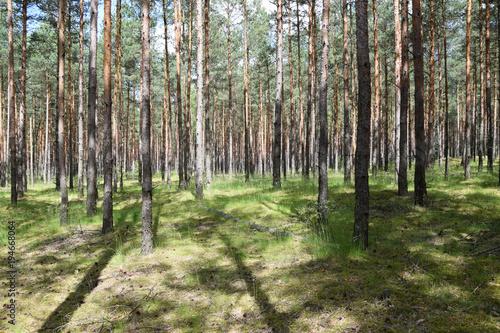 Plexiglas Berkenbos Lots of trees in forest - background. Poland.