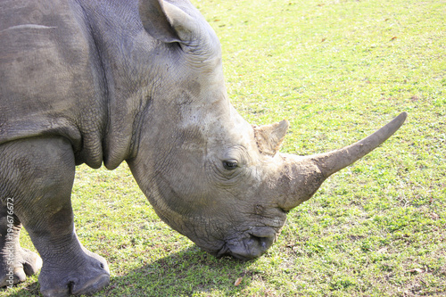 Aluminium Neushoorn Grazing Rhinocerous close-up