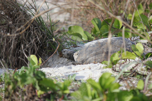 Fotobehang Schildpad Gopher tortoise digging out hole in Florida Park