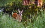Deer / Capreolus capreolus - 194677265