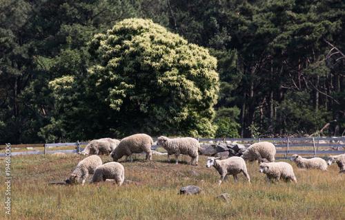 Fotobehang Zwart 무등산 양떼목장
