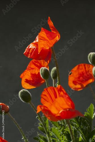 Tuinposter Klaprozen Poppy