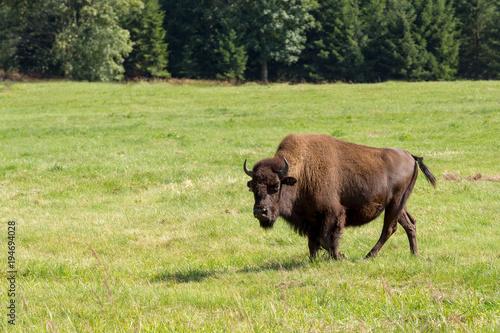 Aluminium Bison American bison (Bison bison) simply buffalo