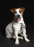 Jack Russel Terrier Cane Wall Sticker