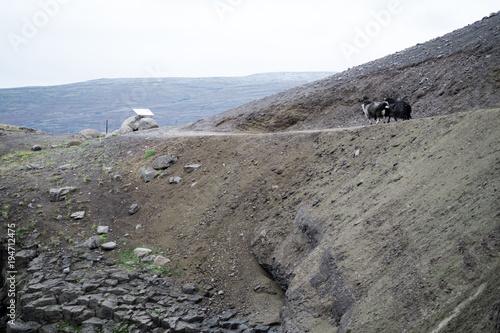 Foto op Canvas Grijs Icelandic sheep - mountains