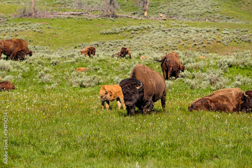 Fotobehang Bison American bison family in Yellowstone