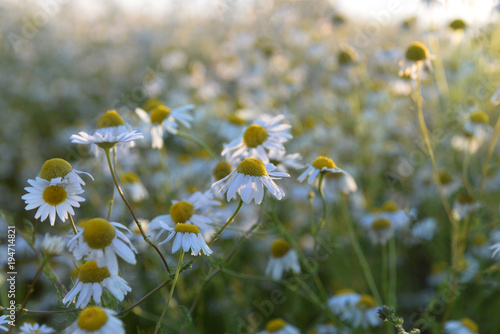A large field with daisies at sunset