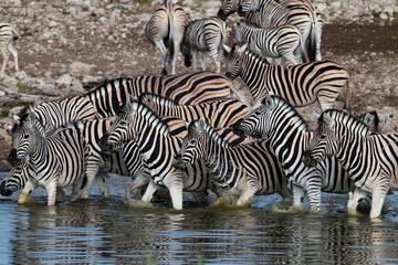 Zebras drinking at a waterhole in Etosha National Park