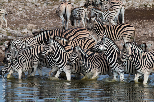 Zebras drinking at a waterhole in Etosha National Park - 194717276