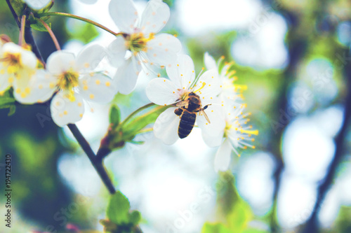 Bee collects the nectar on the white flowers of the spring tree. Toned - 194722430