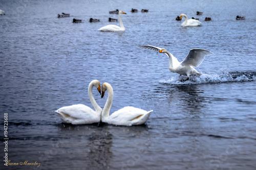 Aluminium Zwaan Swan lake in winter