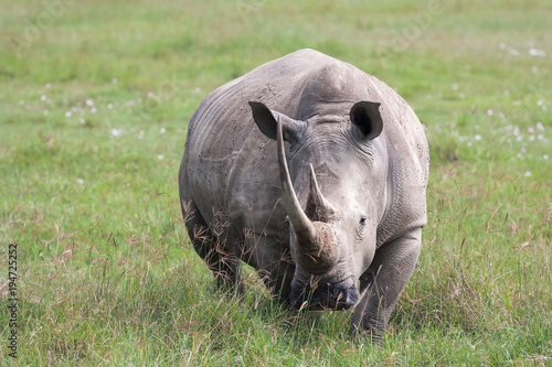Aluminium Neushoorn Portrait of white rhino on Nakuru Lake. Kenya. Africa