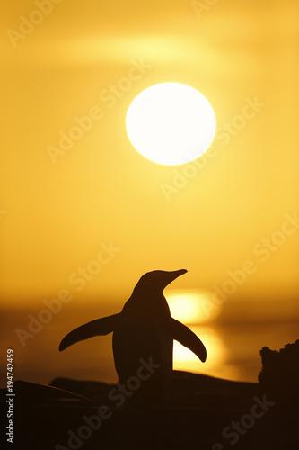 Fotobehang Pinguin Gentoo penguin at sunset, Saunders, Falkland islands.