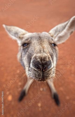 Plexiglas Kangoeroe Australian kangaroo as art close-up with red soil as background