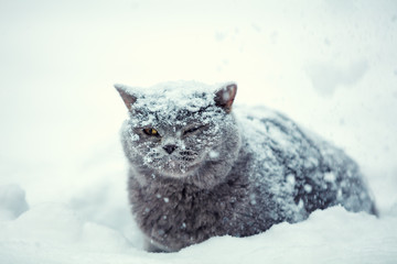 Blue British Shorthair cat sitting on snow during a snowstorm