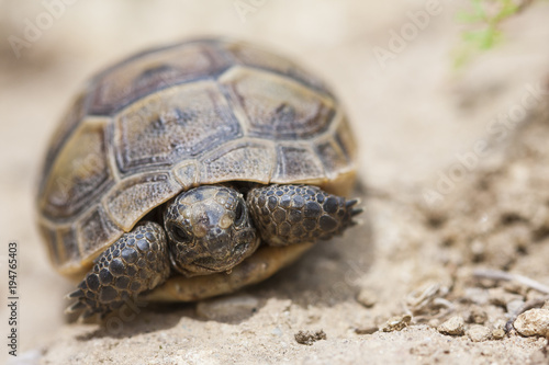 Aluminium Schildpad The common Tortoise (Testudo graeca) or also known as Greek tortoise, or spur-thighed tortoise, is one of the 5 species of Mediterranean tortoise. Juvenile animal