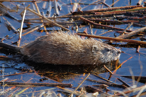 Staande foto Canada A young muskrat sits still in shallow water