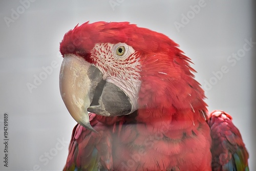 Aluminium Papegaai Papagaio vermelho do Monte Brasil na ilha Terceira