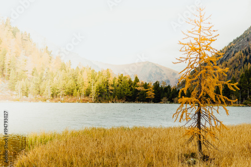Deurstickers Wit Lonely tree on the shore of a mountain lake. Autumn weather in a mountain valley.