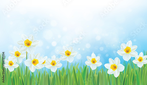 Vector nature background, daffodil flowers.