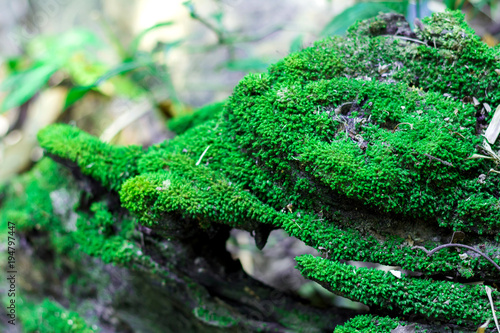 Green moss on the dead tree root © A NON