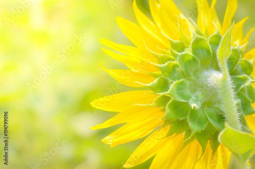Fotobehang Zwavel geel Sunflower field landscape.