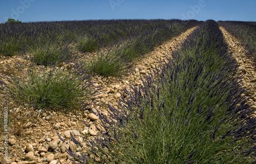 Fotobehang Lavendel Champ de lavande à Valensole, Alpes-de-Haute-Provence, France