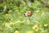 Playing Jack Russell Terrier dog looking from spring green grass and yellow dandelion flowers
