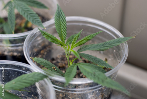 Cloned cannabis indica marijuana cutting rooted in a clear plastic