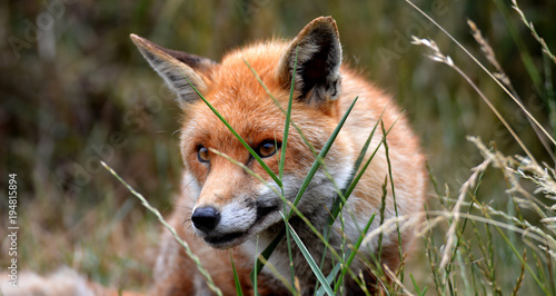 Fototapeta British red fox in grass