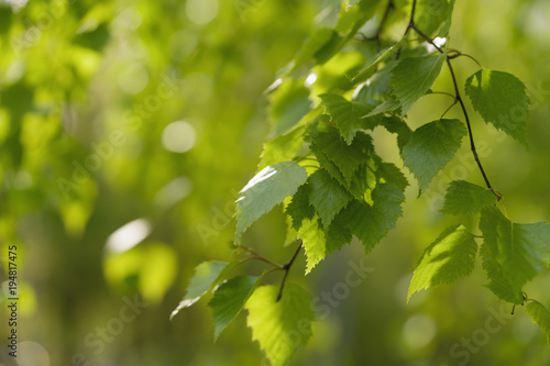 young birch leaves on a wam sunny day - 194817475