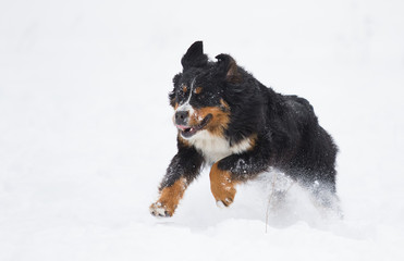 Bernese Mountain Dog in the snow in winter