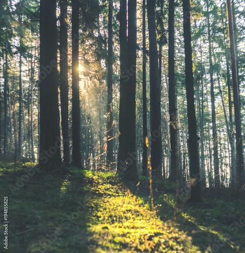 Promienie słoneczne przebijają się przez pnie drzew w Porannym Lesie. Las świerkowy, promienie słoneczne przez poranną mgłę
