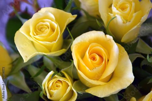 leuchtend gelbe Rosen als Frühlings Hintergrund