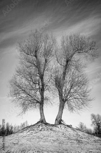 czarno-bialy-obraz-bezlistnych-drzew-blizniaczych