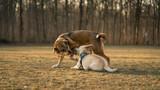 Zwei verspielte Hunde kämpfen im Park