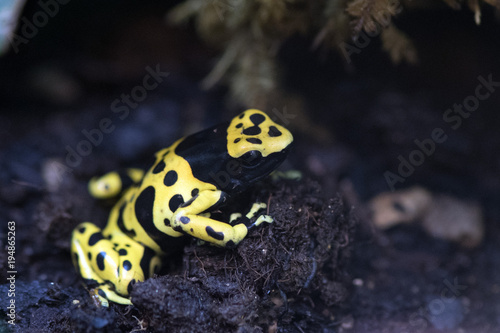 Aluminium Kikker Yellow headed poison frog dendrobates leucomelas