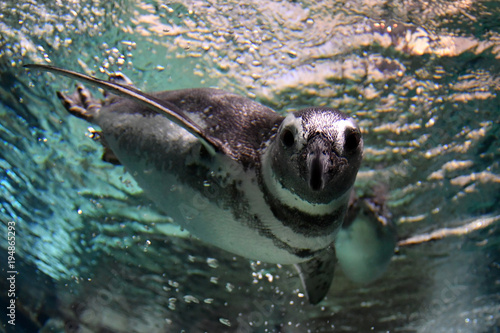 Aluminium Pinguin penguin underwater coming to you